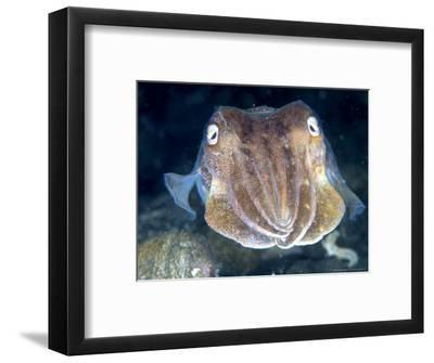 Cuttlefish, Portrait, UK
