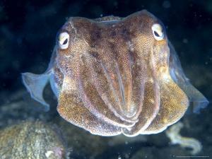 Cuttlefish, Portrait, UK by Mark Webster