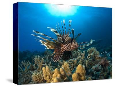 Lion Fish over Reef, Abu Galowa Reef, Fury Shoal, Red Sea