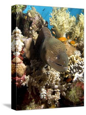 Moray in Coral, Red Sea