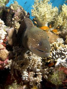Moray in Coral, Red Sea by Mark Webster