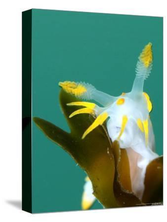 Nudibranch, Feeding, UK