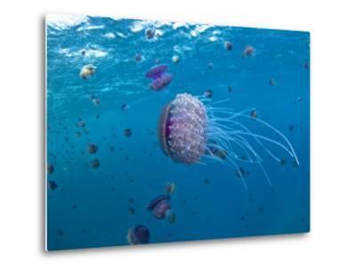 Purple Ocean Jelly Fish, Ras Banas, Red Sea