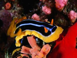 Pyjama Nudibranch or Sea Slug in the Red Sea, Ras Mohammed National Park, Egypt by Mark Webster