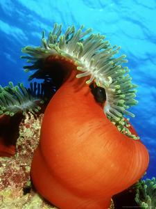 Red Anemone, St. Johns Reef, Red Sea by Mark Webster