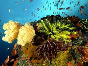 Reef with Crinoids, Komodo, Indonesia by Mark Webster