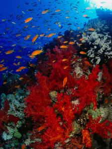 School of Anthias Near Red Soft Coral on Abu Nuhas Reef in Red Sea, Suez, Egypt by Mark Webster