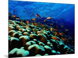 School of Anthias over Brain Coral - Red Sea, Ras Mohammed National Par by Mark Webster