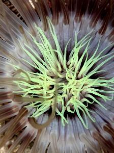 Sea Anemone, Komodo, Indonesia by Mark Webster