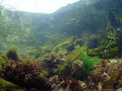 Sea Weeds in Rock Pool, UK