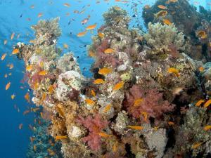 Soft Corals, St. Johns Reef, Red Sea by Mark Webster