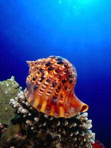 Triton Shell Perched on Thomas Reef, Tiran Island, Egypt by Mark Webster