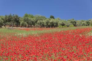 Field of Poppies and Olive Trees, Valle D'Itria, Bari District, Puglia, Italy, Europe by Markus Lange