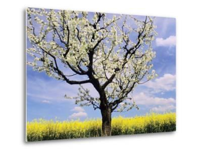 Fruit Tree Blossom and Rape Field in Spring