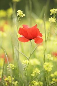 Single Poppy in a Field of Wildflowers, Val D'Orcia, Province Siena, Tuscany, Italy, Europe by Markus Lange