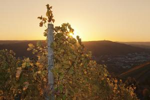 Vineyards at Sundown in Autumn, Baden Wurttemberg, Germany by Markus Lange