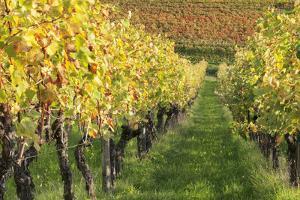 Vineyards in Autumn, Uhlbach, Baden Wurttemberg, Germany, Europe by Markus Lange