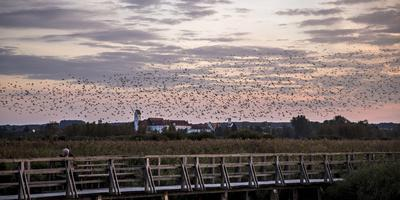 Flock of Birds, Glaucomas over the Federsee (Lake) at Bad Buchau (Village), Germany