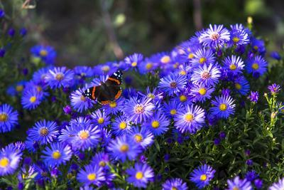 Red Admiral Butterfly Sitting on Flowers