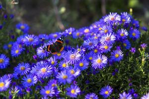 Red Admiral Butterfly Sitting on Flowers by Markus Leser