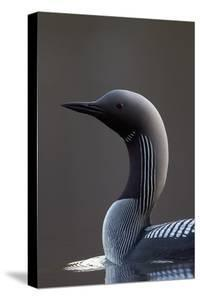 Black-Throated Diver (Gavia Arctica) On Water, Finland, May by Markus Varesvuo