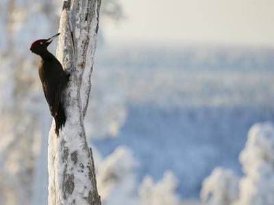 Black woodpecker male on snowy tree trunk, Kuusamo, Finland, February.