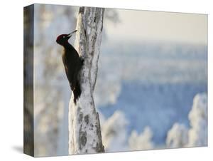 Black woodpecker male on snowy tree trunk, Kuusamo, Finland, February. by Markus Varesvuo