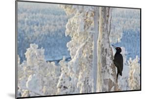 Black woodpecker male perched on tree, Kuusamo, Finland by Markus Varesvuo