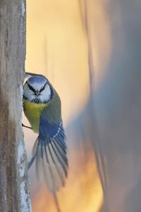 Blue tit perched on tree trunk, Haukipudas, Finland by Markus Varesvuo