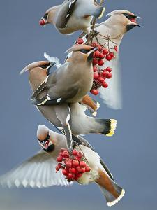 Bohemian Waxwings (Bombycilla Garrulus) Feeding On Berries, Uto Finland October by Markus Varesvuo