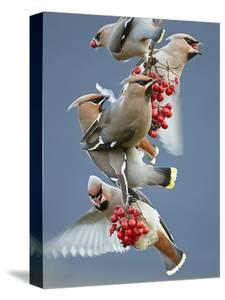 Bohemian Waxwings (Bombycilla Garrulus) Feeding On Berries, Uto Finland October by Markus Varesvuo