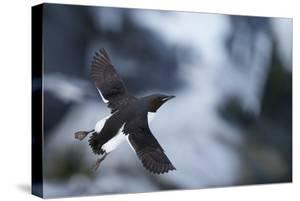 Brunnnich'S Guillemot (Uria Aalge) In Flight, Vardo, Norway, March by Markus Varesvuo