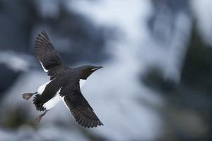 Brunnnich'S Guillemot (Uria Aalge) In Flight, Vardo, Norway, March by Markus Varesvuo