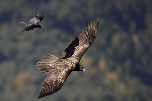 Carrion crow (Corvus corone corone) mobbing Lammergeier (Gypaetus barbatus) Spain by Markus Varesvuo