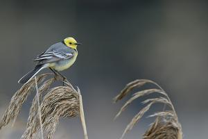 Citrine wagtail male perched on reed, Latvia by Markus Varesvuo