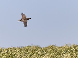 Common Quail (Coturnix Coturnix) Flying over Field, Spain, May by Markus Varesvuo