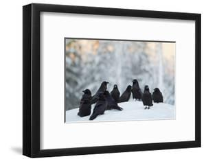 Common Raven (Corvus Corax) Group On Snow In Forest Clearing, Utajärvi, Finland by Markus Varesvuo