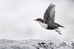Dipper (Cinclus cinclus) taking off from water, Kuusamo, Finland, January by Markus Varesvuo