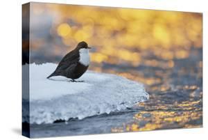 Dipper standing on ice at sunset, Kuusamo, Finland by Markus Varesvuo