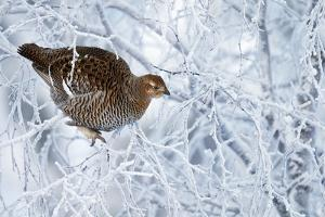 Female Black Grouse (Tetrao - Lyrurus Tetrix) Perched in Tree Covered in Snow by Markus Varesvuo
