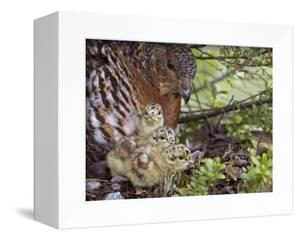 Female Capercaillie (Tetrao Urogallus) with Three Chicks, Kuhmo, Finland, June by Markus Varesvuo