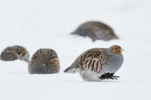 Four Grey Partridges (Perdix Perdix) on Snow, Kauhajoki, Finland, January by Markus Varesvuo