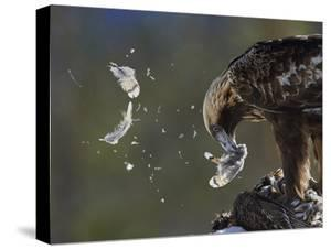 Golden Eagle (Aquila Chrysaetos) Plucking Capercaillie (Tetrao Urogallus) Kuusamo, Finland, April by Markus Varesvuo