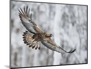Golden eagle (Aquila chrysaetus) Kuusamo, Finland, January by Markus Varesvuo
