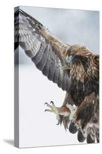 Golden eagle (Aquila chrysaetus) landing, Kuusamo, Finland, January. by Markus Varesvuo