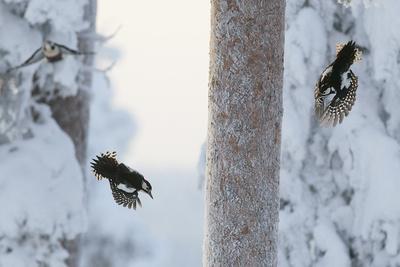 Great spotted woodpecker three flying in snowy woodland,, Kuusamo, Finland