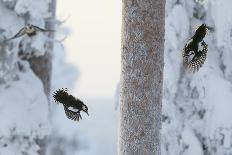 Golden eagle (Aquila chrysaetus) Kuusamo, Finland, January-Markus Varesvuo-Photographic Print