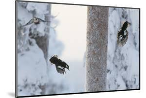 Great spotted woodpecker three flying in snowy woodland,, Kuusamo, Finland by Markus Varesvuo