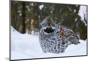 Hazel grouse standing at forest edge. Helsinki, Finland by Markus Varesvuo