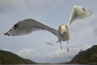 Herring Gull (Larus argentatus) close up of juvenile in flight, Flatanger, Norway, October